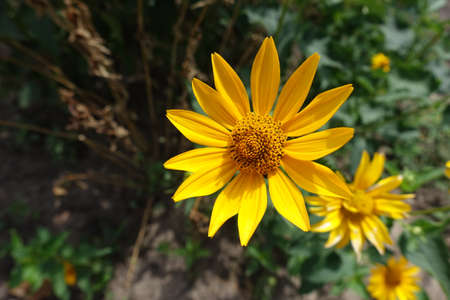 Golden yellow flower head of Heliopsis helianthoides in mid July