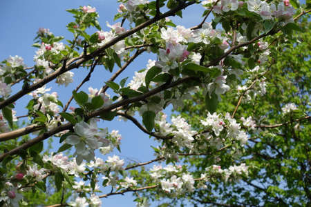 Shoots of blossoming apple tree against blue sky in April Banco de Imagens