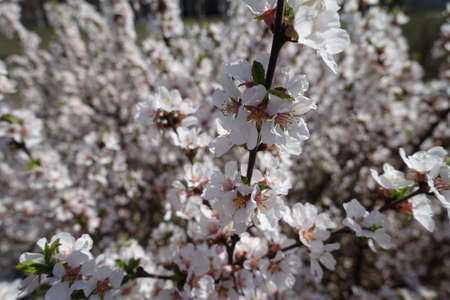 Thin branch of prunus tomentosa in full bloom in April Banco de Imagens