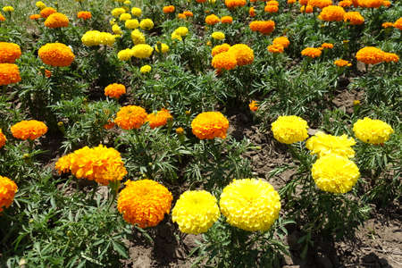 Flowering orange and yellow Tagetes erecta in June