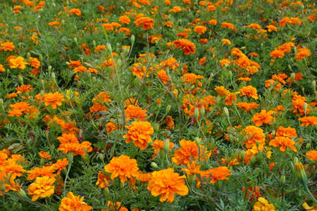Blooms of bright orange Tagetes patula in mid July Banco de Imagens