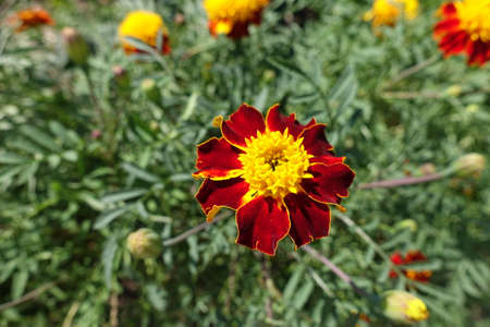 Deep red and yellow flower head of Tagetes patula in July Banco de Imagens