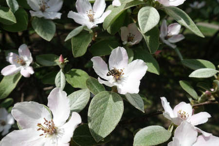 Insect pollinating white flower of quince in May
