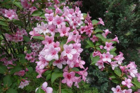 Multitude of pink flowers of Weigela florida in May