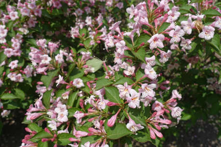 Hundreds of pink flowers of Weigela florida in mid May Banco de Imagens