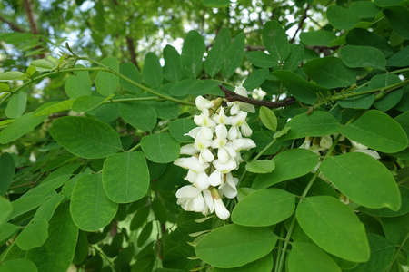 Single raceme of white flowers of Robinia pseudoacacia in mid May
