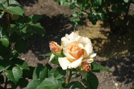 Buds and beige flower of rose in May