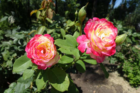 2 pink and white flowers of rose in July