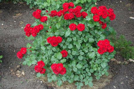Blooming red rose bush in the garden in June