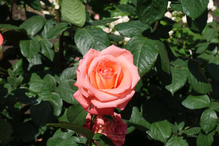 A flower of salmon pink rose in June