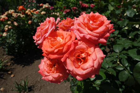 Bundle of salmon pink flowers of roses in June Banco de Imagens