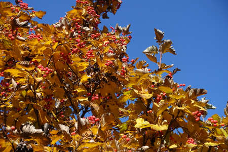 Brownish yellow leafage and red berries of Sorbus aria against blue sky in mid October