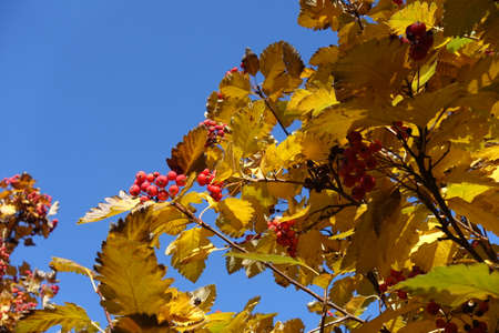 Colorful foliage and red berries of Sorbus aria against blue sky in mid October