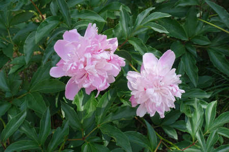 Lush green leafage and pair of pink flowers of peonies in May