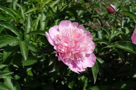Garden peony with one pink flower in mid May Banco de Imagens