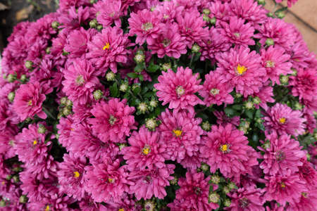 Intense pink flowers of Chrysanthemums in mid October