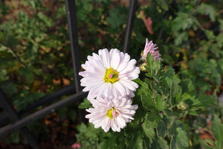 Whitish pink flowers of Chrysanthemums in November