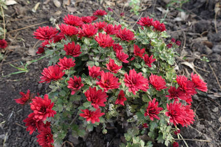 Inflorescences of bright red Chrysanthemums in November Banco de Imagens