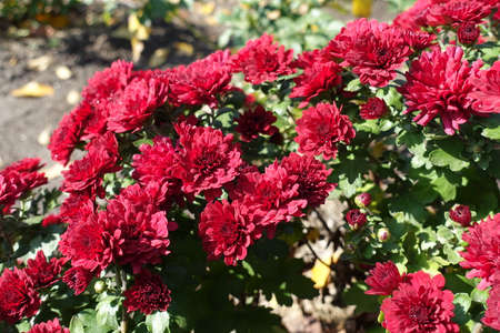 Autumnal flowers - bright red Chrysanthemums in October Banco de Imagens