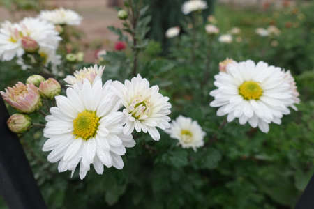 Close view of white daisy like flowers of Chrysanthemums in October
