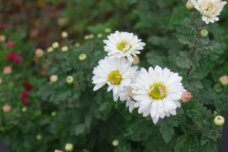 3 white daisy like flowers of Chrysanthemums in October