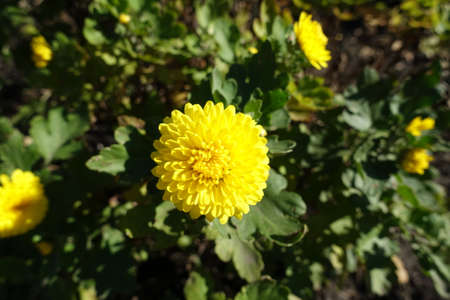 A flower of yellow Chrysanthemum in mid October Banco de Imagens