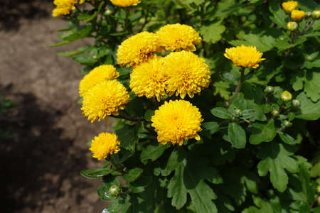 Amber yellow flowers of Chrysanthemums in July