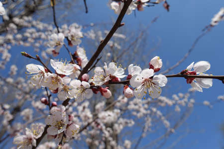 Flowers of apricot tree against blue sky in April