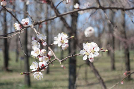 Flowering branch of apricot tree in April