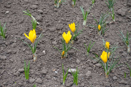 Opening yellow flowers of crocuses in early spring Banco de Imagens