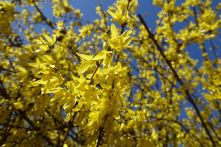 Whole lot of yellow flowers of forsythia against blue sky in April