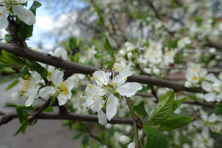 Simple white flowers of sour cherry tree in April Banco de Imagens