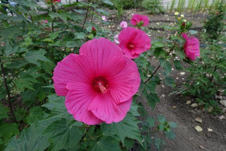 Few crimson flowers of Hibiscus moscheutos in August Reklamní fotografie