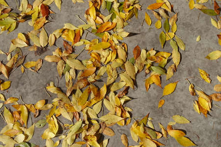 Yellow and brown fallen leaves of ash tree on concrete pavement in October