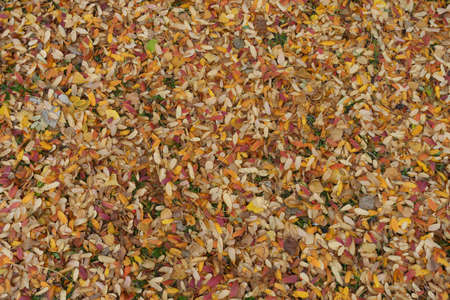 Bright and colorful fallen leaves of rowan on the ground in October Banco de Imagens