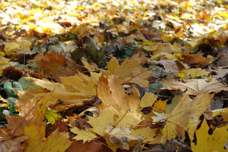 Close view of fallen leaves of maple on the ground in mid October