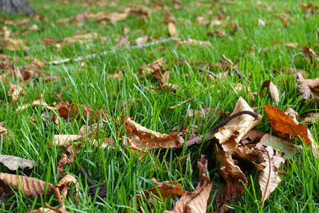 Dry brown fallen leaves of horse chestnut in the grass in October
