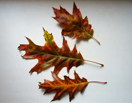 3 bright and colorful fallen leaves of red oak in October