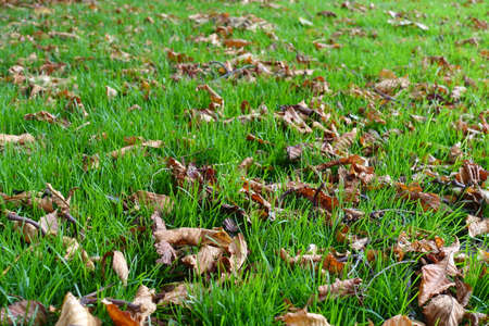 Fallen leaves of horse chestnut in lush green grass in October