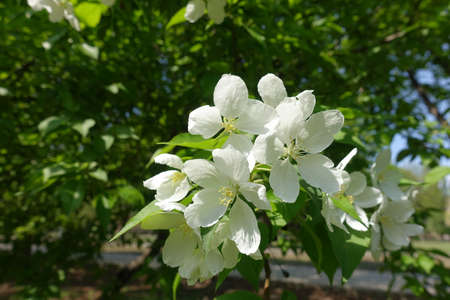 Inflorescence of apple tree in mid spring