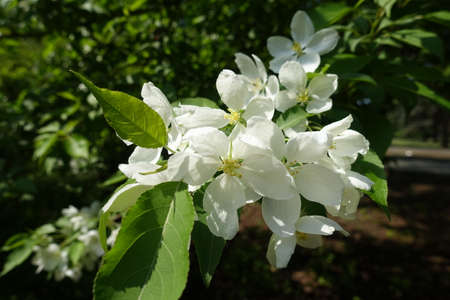 Bunch of white flowers of apple tree in April