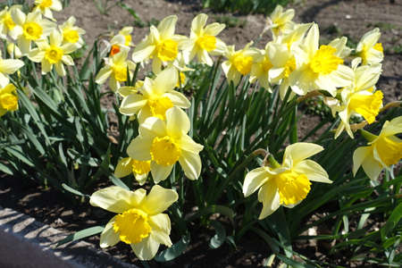 Many yellow flowers of narcissuses in April