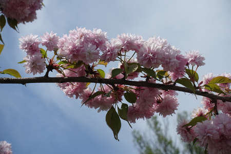 Stalks with heavy double pink flowers on branch of sakura tree against blue sky