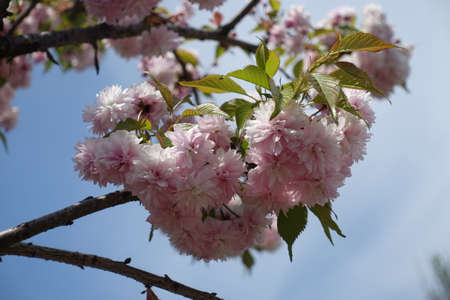 Pendent double pink flowers of sakura against the sky in April Banco de Imagens