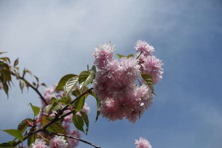 Some double pink flowers on branch of sakura against blue sky in April