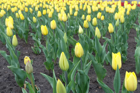 Yellow flowers and buds of tulips in April