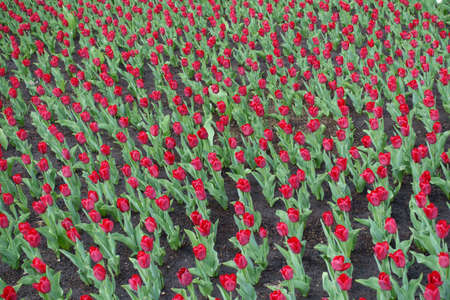 Whole lot of red flowers of tulips in April
