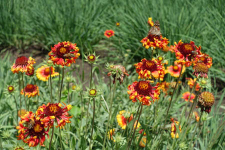 Vanessa cardui and bees pollinating flowers of Gaillardia Fanfare in June Banco de Imagens