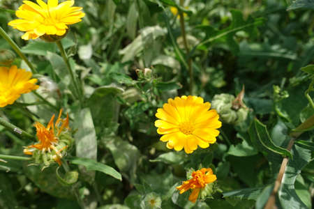 Vibrant yellow flowers of Calendula officinalis in July Banco de Imagens