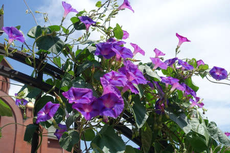 Sky and pink and purple flowers of Ipomoea purpurea in July 스톡 콘텐츠
